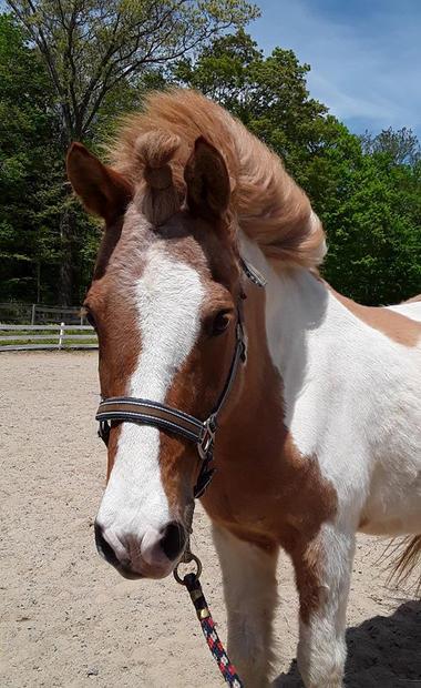 Glasi, an Icelandic Horse gelding
