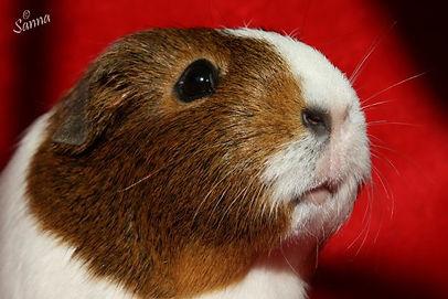Guinea Pig2.jpg