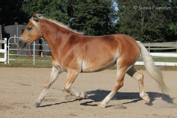 Connie, a Haflinger Horse mare