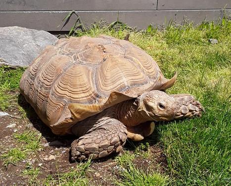 Stella the Sulcata Tortoise