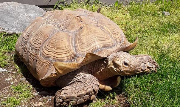 Stella, the large Sulcata tortoise