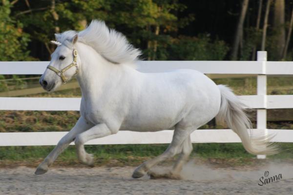 Skeeter, an Icelandic gelding, also a Unicorn