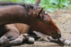 Nurse Mare Foal