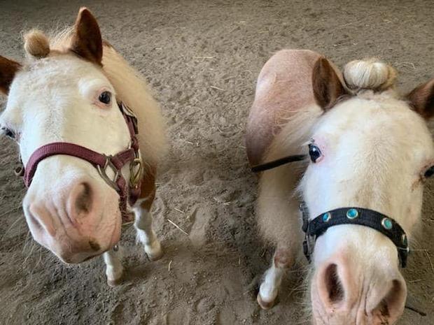 Kote and Tug, Miniature Horse geldings