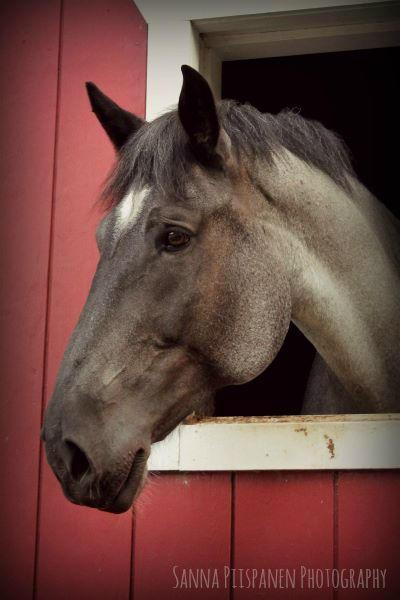 Ima Big Girl, a PMU rescue mare