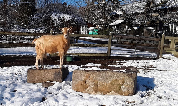 Benjamin, a Togenburg goat