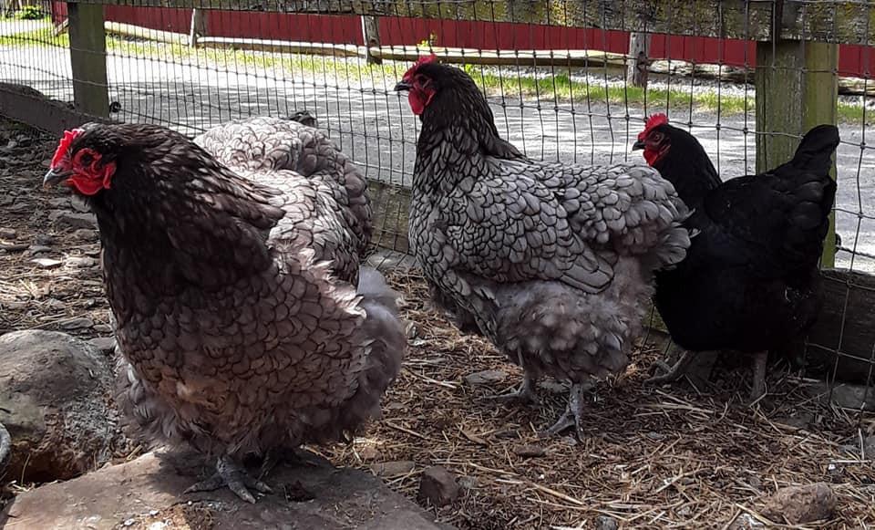 Orpington hens