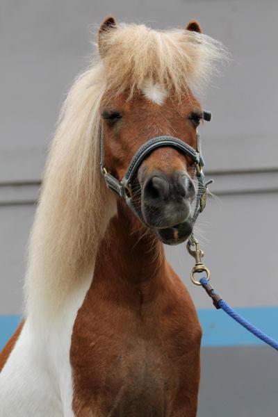 Race Car, a Miniature Horse gelding