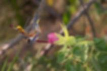 Pesando um pouco menos de 2go pequeno Phaethornis ruber não se intimida com invasores da sua área de alimentação e anuncia sua presença.    A flor que também lhe serve de pouso é a Pavonia macrostyla (Malvaceae).