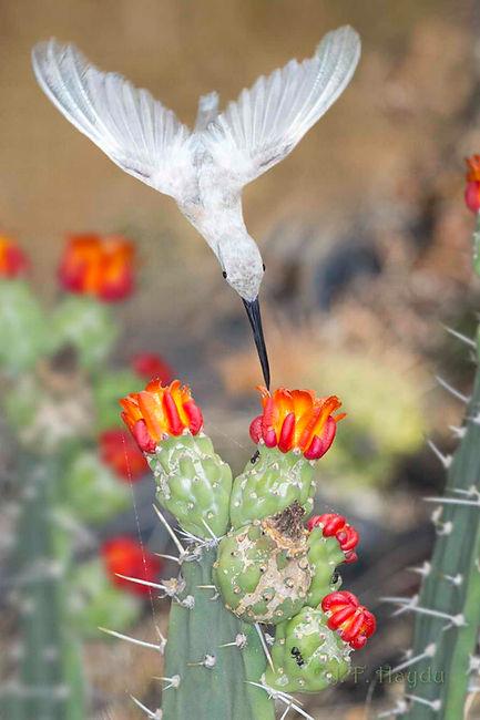 Phaethornis pretrei (leucístico) e as flores da Tacinga palmadora (Cactaceae), uma espécie de cacto bastante comum na Caatinga. Por causa dos espinhos a ave paira quase de cabeça para baixo, uma manobra quase impossível para qualque outro pássaro, mas para esse beija-flor é apenas rotina