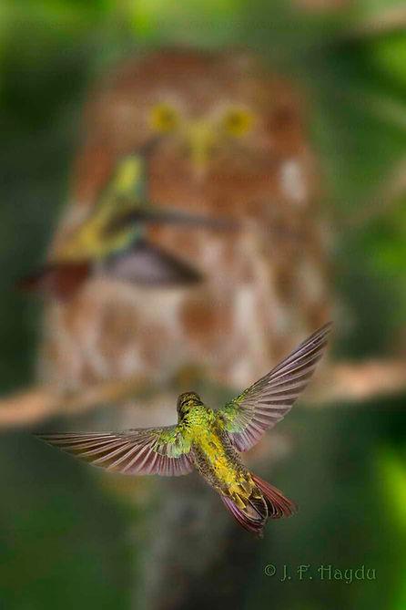 Anthracotorax nigricolis em primeiro plano, assediando um Caburé (silhueta ao fundo) para enxotá-lo.