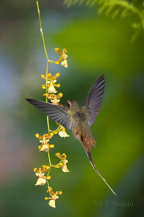 Com o desenvolvimento da cauda praticamente completo, este beija-flor já voa perfeitamente. Nota-se que as duas penas mais longas da cauda ainda não estão iguais em comprimento, mas isso se completará em poucos dias. As flores são da Oncidium sp. (Orchidaceae).