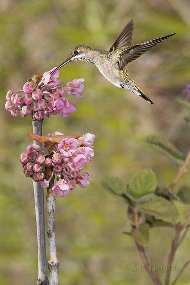 Pterandra pyroidea (Malpighiaceae)  produz delicados cachos de flores que parecem ter sido colocadas em ramos aparentemente secos. As folhas brotam depois e enquanto isto não acontece, ficam mais visíveis para visitantes sedentos, como esta fêmea de Heliomaster squamosus.