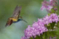 Beija-flor Anthracotorax nigricolis e as flores da Cuspidaria convoluta (Bignoniaceae), também conhecida como Cipó-rosa, trepadeira aparentada ao Ipê-roxo e que produz intensas floradas. Será que a quantidade de flores aparentemente iguais se constitui em desafio à memória de um beija-flor? Tudo indica que não.