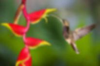 A flor da Heliconia rostrata (Heliconiaceae) parece ter uma clara semelhança com a forma do robusto bico do beija-flor Glaucis hirsutus e não é a toa que frequentemente esse é visto se alimentando nela. As Heliconias produzem flores que estão entre as preferidas dos beija-flores de bicos curvo.