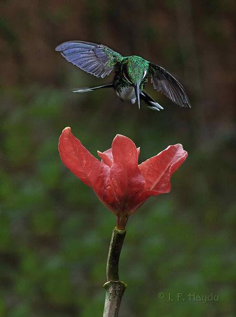 Leucochloris albicollis e a flor da Ruellia colorata (Acanthaceae). Nota-se que a ave paira sobre a flor e movimenta as asas de forma independente uma da outra. O beija-flor está fazendo um ajuste preciso da sua posição.