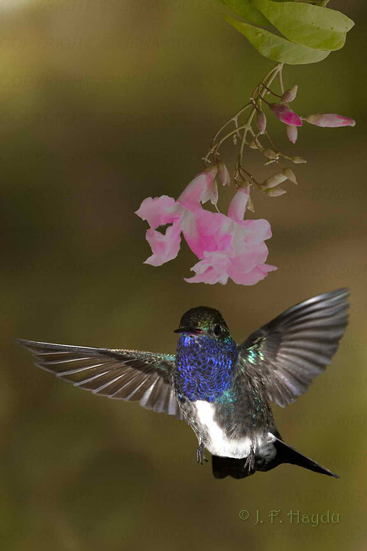 """Amazilia lactea (foto) entra na classificação de """"pequena migratória"""" segundo A.Ruschi. Parece mesmo que se comportam assim, pois em meu jardim, a população deles varia ao longo do ano. De agosto até novembro são sempre mais numerosos. As flores são deParagonia pyramidata (Bignoniaceae)."""