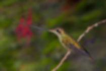 Para este beija-flor andino (Ensifera ensifera) a evolução o habilitou a buscar néctar nas flores de corolas muito longas, como Passiflora mixta (Passifloraceae). A planta tem nesta espécie de beija-flor o seu único polinizador que por sua vez, tem acesso à uma reserva exclusiva de néctar