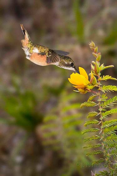 À esquerda, uma fêmea de Calliphlox amethystina visita flores deChamaecrista cathartica(Fabaceae).