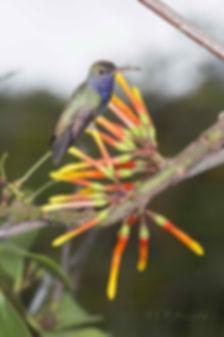 Psittacanthus cinctus (Loranthaceae) ainda não abriu as flores. Os botões servem para o pouso de Amazilia lactea.
