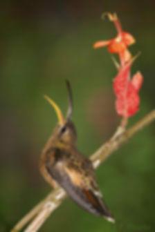 """Compridos, médios, curtos, retos, curvados, os bicos dos beija-flores não passam despercebidos quando os observamos de perto. O formato do bico de certos beija-flores parece acompanhar o comprimento e a curvatura da corola de algumas flores e isso não é coincidência. Aliados ao estilo ímpar de voo dessas aves, os bicos são ferramentas admiráveis para a obtenção do alimento, seja ele néctar ou insetos. Em alguns casos, o bico deixa muito evidente a coevolução existente entre flores e beija-flores. Isso não quer dizer que um beija-flor de bico curto não possa obter alimento em uma flor de corola mais longa ou vice versa. Mas ele se alimentará mais eficientemente se o fizer na """"flor certa"""", o que determina o sucesso na competição pelas fontes de alimento. Porém, se as """"flores certas"""" estiverem escassas e as """"flores erradas"""" abundam, o beija-flor procura se adaptar.      Na foto, o beija-flor Glaucis hirsutus pousa ao lado da flor da  Ruellia colorata (Acanthaceae), originária"""
