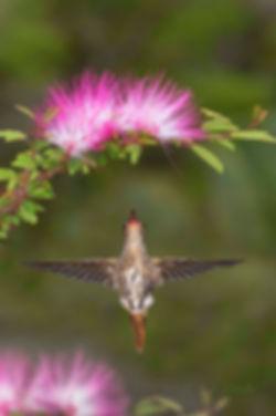 Hylocharis chrysura(à direita) e as flores da Calliandra surinamensis (Fabaceae). Das dez retrizes (penas da cauda), restam apenas duas e estas também vão cair. Enquanto isso as novas já estão se formando rapidamente. Nas asas podemos observar algumas plumas antigas junto ao corpo que logo cederão lugar às mais recentes.