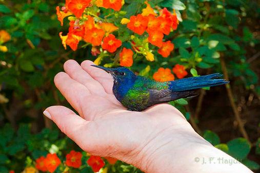Filhote da espécie Eupetomena macroura, recuperando-se numa caixa de sapatos forrada com pano macio e um poleiro. Se a ave não se mantiver pousada, deixe-a no pano. Após a recuperação, liberte-a.