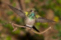 Este jovem macho de Chlorostilbon lucidus, já está com cerca de 50% da sua aparência final definida. Ele ficará inteiramente com tons verdes e dourados e perderá a cor cinza do ventre, que nesta espécie é quase inteiramente a cor da fêmea.