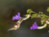 Esta fêmea de Calliphlox amethystina encontra a solução para compensar o tamanho do bico e se adaptar ao tamanho da flor da Thunbergia erecta. Ela perfura a base, e introduz o bico exatamente no reservatório de néctar. Muitas vezes, já existem perfurações feitas por insetos e o beija-flor as usa.  São oportunistas quando  lhes convém.