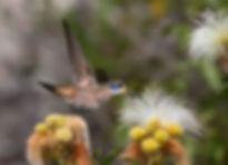 Colibri delphinaegreenewaltie as flores da Calliandra viscidula (Fabaceae)