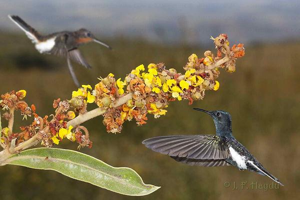 Byrsonima basiloba(Malpighiaceae), arbusto comum e produz muitos cachos de flores iguais à esse. Beija flores como esta dupla de Florisuga fusca aproveitam as floradas que duram semanas.