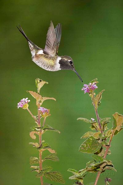 """O voo de Calliphlox amethystina é muito diferente de todos os outros beija-flores. Enquanto a maioria deles bate as asas em média 30/s, esta espécie chega a fazê-lo até 80/s. Por isso seu voo é muito mais suave nos movimentos, assemelhando-se ao de alguns insetos. Não é raro que este beija-flor seja confundido com eles, em particular com as abelhas """"Mamangavas"""". À esquerda um macho nas flores deLippia rhodocnemis (Verbenaceae), planta de Cerrados. Acima, uma fêmea e as flores de Melocactus bahiensis (Cactaceae), planta das regiões do Agreste baiano."""