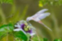 Este Phaethornis pretrei  apresenta um grau mais intenso da anomalia. Segundo uma moradora do local, que presenciou seu nascimento, a ave estava comum ano e meio de idade aproximadamente. Eladividia o território com pelo menos mais três exemplares normais da espécie e sob todos os outros aspectos  parecia normal.  A flor é de Passiflora edulis (Passifloraceae), o conhecido Maracujá.
