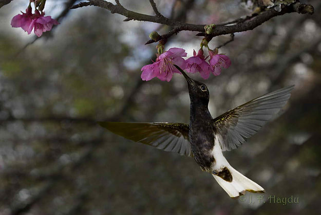 Florisuga fusca e flores dePrunus serrulata (Rosaceae), conhecida popularmente por Cerejeira-japonesa. Este beija-flor chega a voo de migração todos os anos, por volta de setembro. Costumam ficar até novembro ou dezembro.