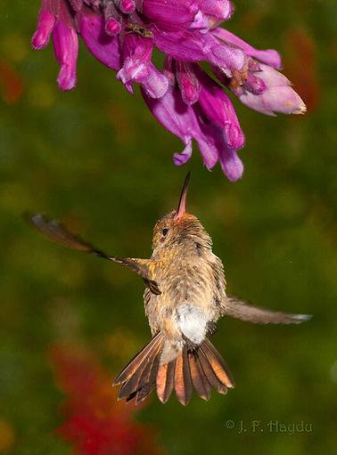 Esse exemplar jovem de Hylocharis chrysura apesar da pouca idade, já consegue executar uma complicada manobra de voo e alcançar verticalmente as flores da Salvia involucrata (Lamiaceae).