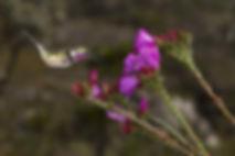 """Quando se é tão pequeno quanto um Calliphlox amethystina,  até insetos como vespas ou borboletas são tratados como """"invasores"""". Com insetos, o comportamento de defender o território, normalmente não passa de """"protestos"""". Os beija-flores parecem ficam em alerta, mas curiosos ao mesmo tempo. Em bebedouros,observei beija-flores retirando rapidamente abelhas menores com o bico e as atirando para o lado. Em se tratando de vespas, eles nunca as atacam. Porém vespas são mais """"calmas"""" e dificilmente avançam nos beija-flores.  As flores são daLavoisiera imbricata (Melastomataceae)."""