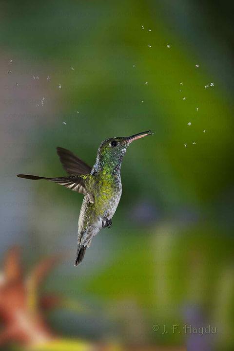 Amazilia versicolor capturando insetos. No início da primavera, logo após as primeiras chuvas seguidas de calor, essas pequenas moscas brancas fazem revoadas em movimentos circulares, mantendo-se agrupados em um enxame com diâmetro de 30 a 50 cm. É uma festa para os beija-flores.