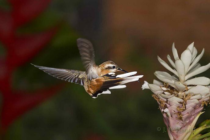 Phaethornis pretrei faz uma manobra circular para acessar as flores da Alpinia purpurata rosea (Zingiberaceae). A cauda desse beija-flor, sem dúvida lhe permite fazer manobras mais complicadas quando comparado aos beija-flores de cauda mais curta.