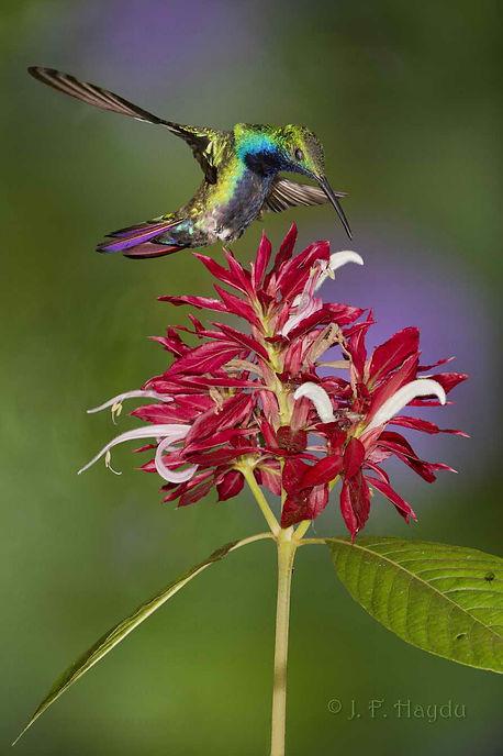 Observem com atenção, Anthracotorax nigricolis (macho) aproximando-se das flores deMegaskepasma erythrochlamys (Acanthaceae). As duas asas estão em posições diferentes uma da outra. Este beija-flor também as movia de forma independente para ajustar sua posição em relação às flores.