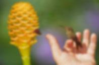 Hylocharis chrysura e as flores da Streptosolen jamesonii (Solanaceae). A ave também recebeu água açucarada e já recuperou suas forças. Agora está sendo apresentada a outras fontes de alimento. Essas aves quase que instintivamente enfiam o bico nas flores nestas situações. Isso torna muito fácil sua recuperação.