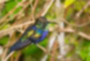 Thalurania furcata balzani (PA)_123A9679