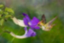 Mas, se o tamanho inteiro da ave não parece adequado à flor, o que se diria do bico. Estas cenas acontecem muito nos jardins. Plantas exóticas estão lado a lado com espécies nativas, a gosto do jardineiro. O beija-flor Lophornis magnificus (macho) é uma ave curiosa e inspeciona a flor da Thunbergia erecta (Acanthaceae), de origem Africana. Talvez o beija-flor esteja apenas procurando minúsculos insetos para comer. É preciso observar o comportamento deles para tirar conclusões.