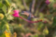 Pavonia macrostyla (Malvaceae) visitada por um Phaethornis ruber. Estas flores imediatamente nos lembram os Hibiscus, muito comuns nos nossos jardins,porpertencerem à mesma familia botânica. Crescem próximas a paredões e fendas rochosas.