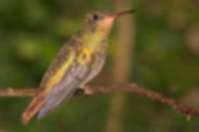 """Hylocharis chrysura à esquerda, está praticamente sem cauda, devido à muda. Podemos ver que ela já começa a se desenvolver. Nesta fase, o voo fica prejudicado por certa falta de estabilidade e produz certo ruído como o de uma pequena """"turbina"""". O exemplar acima está com a plumagem plenamente desenvolvida."""