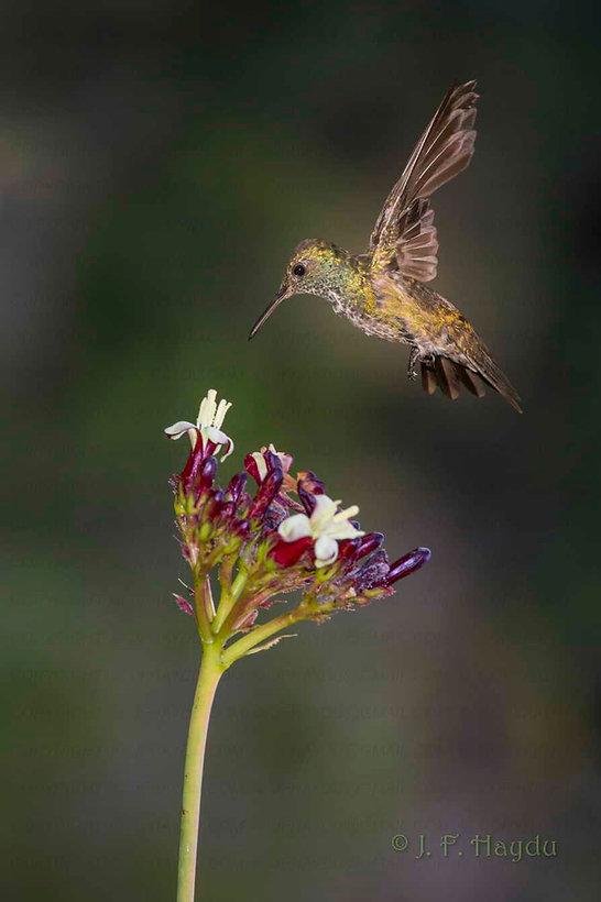 """Amazilia versicolor(à direita)encontra-se numa fase da muda em que seu voo ficabastante prejudicado. O ar escapa por entre as falhas da plumagem das asas dificultando a sustentação no ar e o equilíbrio da ave. A ave necessita bater as asas um pouco mais rápido e seu gasto de energia é bem maior.É frequente nessas condições que o voo produza um zumbido, como de uma pequena """"turbina"""". Felizmente os beija-flores, como mestres do voo que são, sabemadaptar-secom estas dificuldades passageiras.  As flores são da Jatropa curcas(Euphorbiaceae), planta típica da Caatinga."""