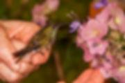 Filhote de Amazilia versicolorkubtchecki e as flores da Karomia speciosa (Lamiaceae). A ave recebeu água açucarada e já recuperou suas forças. Agora está sendo apresentada a outras fontes de alimento.
