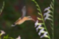 Passados alguns dias, a cauda começa a se desenvolver e com isso ocorre uma progressiva melhora no desempenho do voo. As flores são da Asystasia gangetica (Acanthaceae).