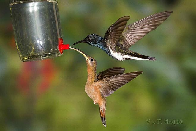 Beija-flores Florisuga fusca (acima) e Glaucis hirsutus (abaixo), alimentando-se em bebedouro com água açucarada.