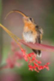 """A língua da ave pode se projetar cerca de duas vezes o comprimento do bico, proporcionando uma facilidade para se ajustar às diversas formas de flores, em especial às que possuem corolas mais alongadas. Assim é que a evolução funciona e talvez daqui a alguns milhares de anos haja novas formas tanto de bicos como de flores. Glaucis hirsutus à direita, exibe apenas uma parte da sua lingua. Sabemos que ele pode fazer muito mais que isso ou seja, até duas vezes o tamanho do seu bico. É uma ferramenta poderosa e que permite várias """"adaptações"""" conforme as necessidades. As flores são daStromanthe sanguinea - Marantaceae."""