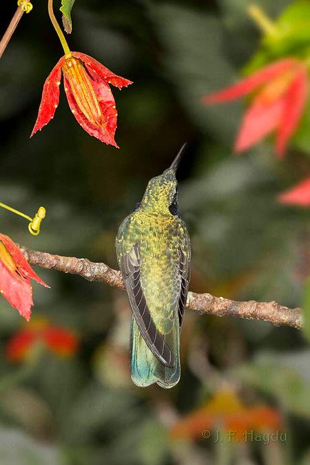 Colibri serrirostris